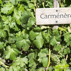 Carménère, exclusividade do Chile